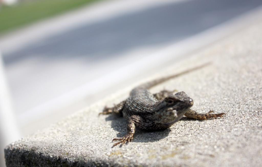 Little Lizard basking in the sun on the steps by the student center. Occasionally Seen trying to sell students Car insurance.