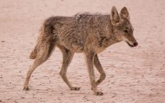 City of Norwalk approves plan for coyote management