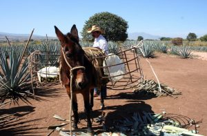 A jimador demonstrates the original, traditional way of bringing the blue agave from the fields: by the