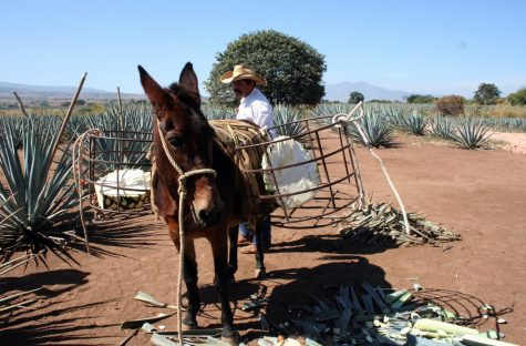 "A jimador demonstrates the original, traditional way of bringing the blue agave from the fields: by the ""workhorse"" donkey and caged baskets.  Nowadays, the heart of the plant is brought into the distilleries by the truckload."